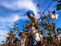 Leme, Sao Paulo, Brazil, May 10, 2005. woman working in a cotton field during the harvest.